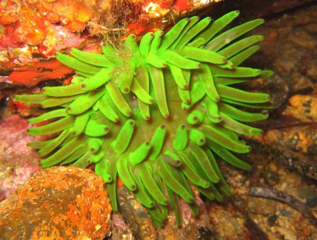 CnidAnthoHexa-Cribrinopsis crassa-AnémoneCharnue-GiensMédes-