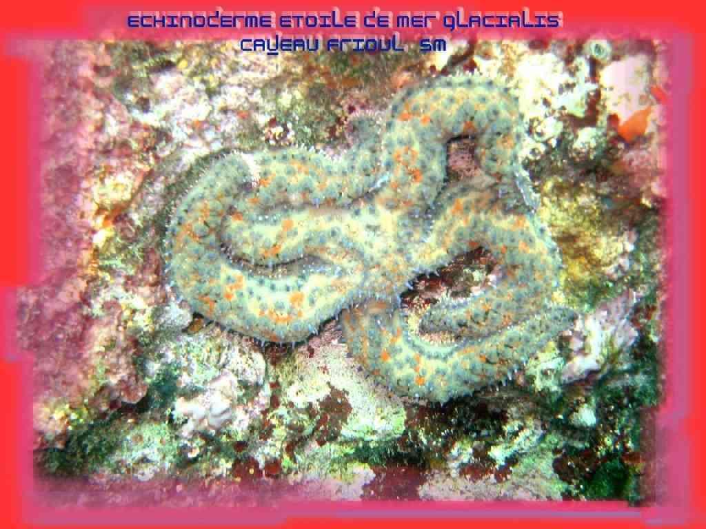 EchinoAstérid-Marthasterias glacialis-EtoileGlaciaire- C (1)