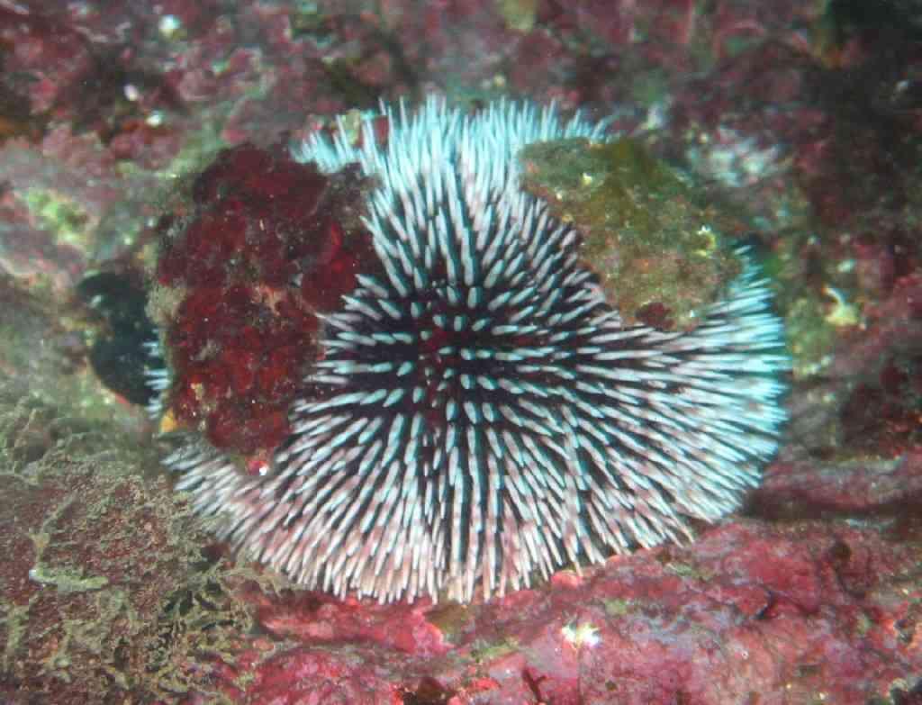 EchinoEchini-Sphaerechinus granularis-OursinViolet-Tiboulen-