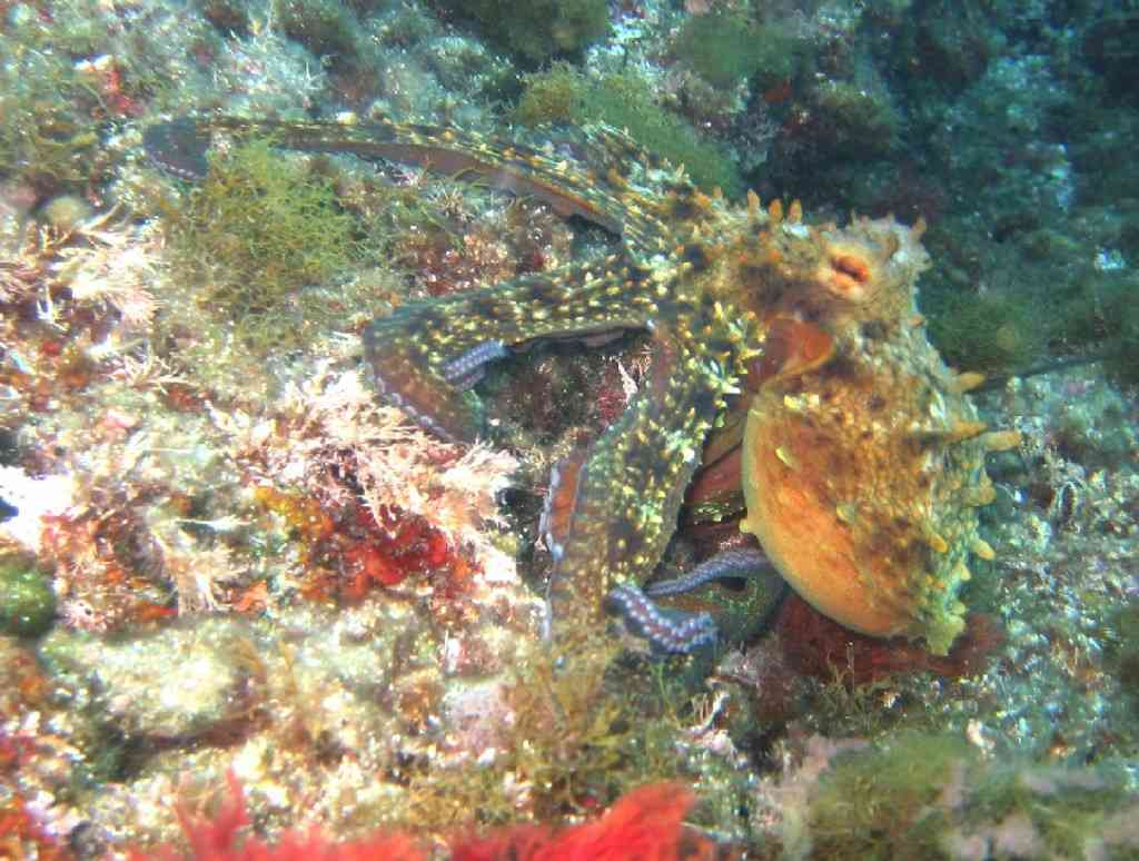 MollCéph-Octopus vulgaris-PieuvrePoulpe-Tiboulen-5m-05-0 (4)