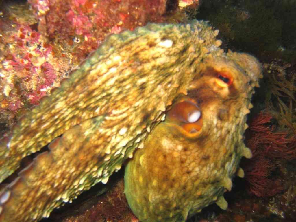 MollCéph-Octopus vulgaris-PieuvrePoulpe-Tiboulen-5m-05-0 (1)