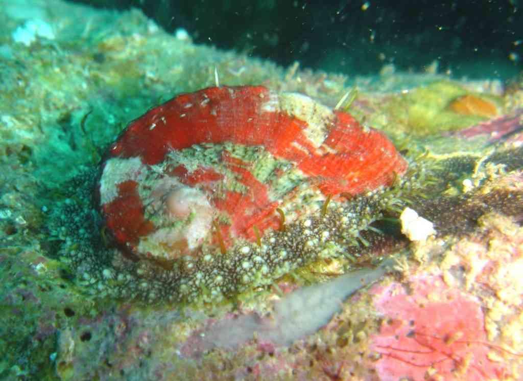 MollGaster-Haliotis lamellosa-Ormeau-Caveau-10m-27-07-04-vmS