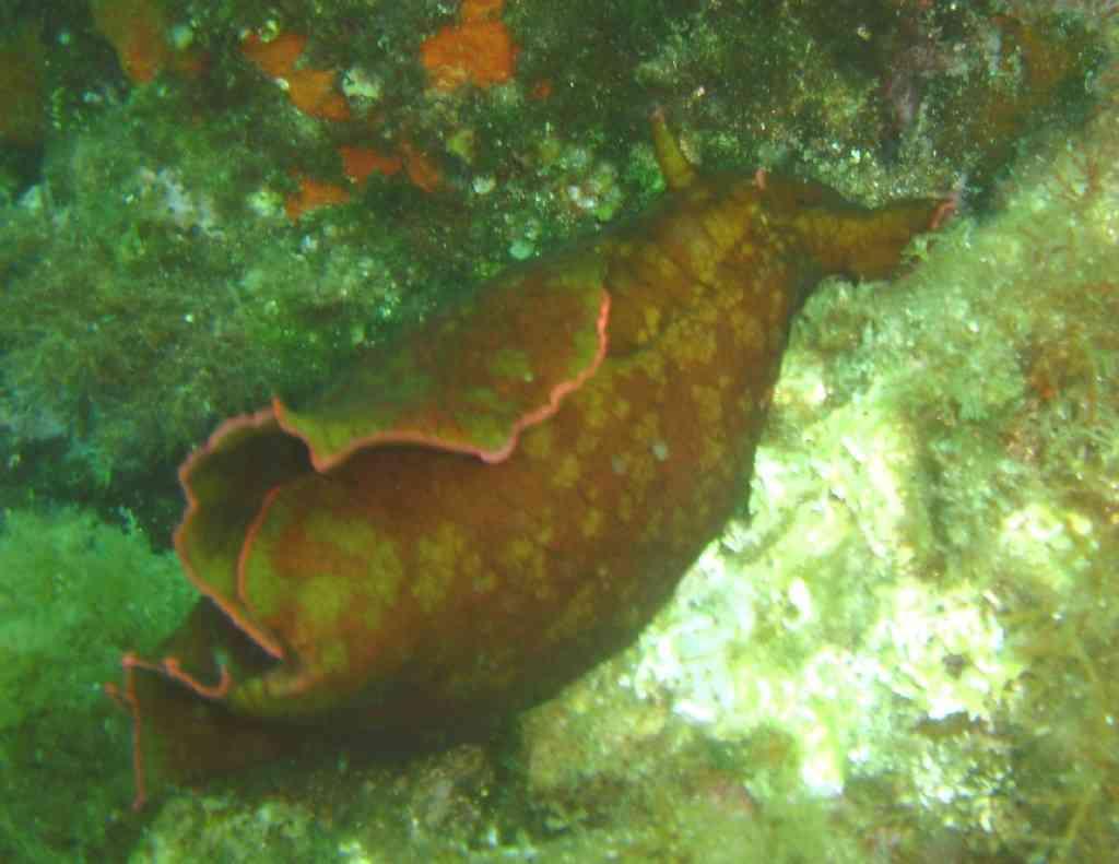 MollGasterNud-Aplysia depilans-LièvreMer-PlanierTombant- (2)