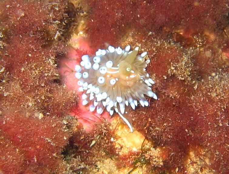 MollGasterNud-Janolus cristatus-NiolonErevineTombW-15m-11-04