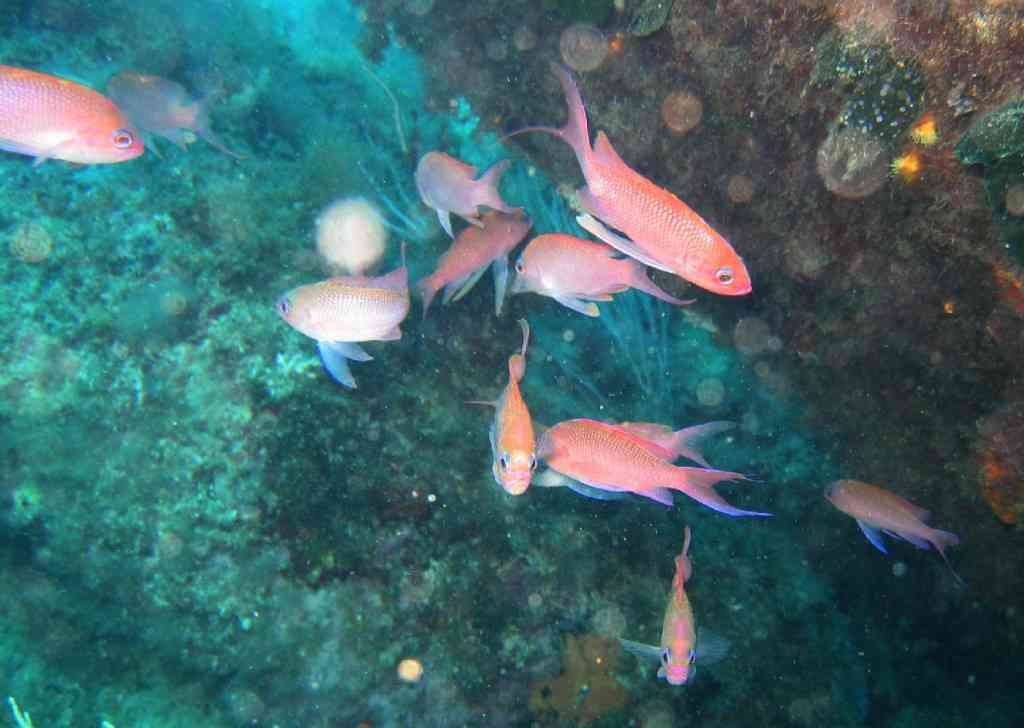 PoissOstéich-Anthias anthias-Barbier-PlanierDalton-15m-30-05