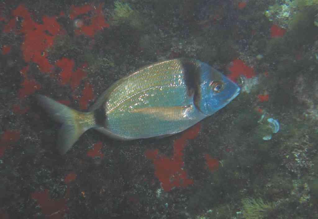 PoissOstéich-Diplodus vulgaris-Sar(gue)Commun-GiensGabinière