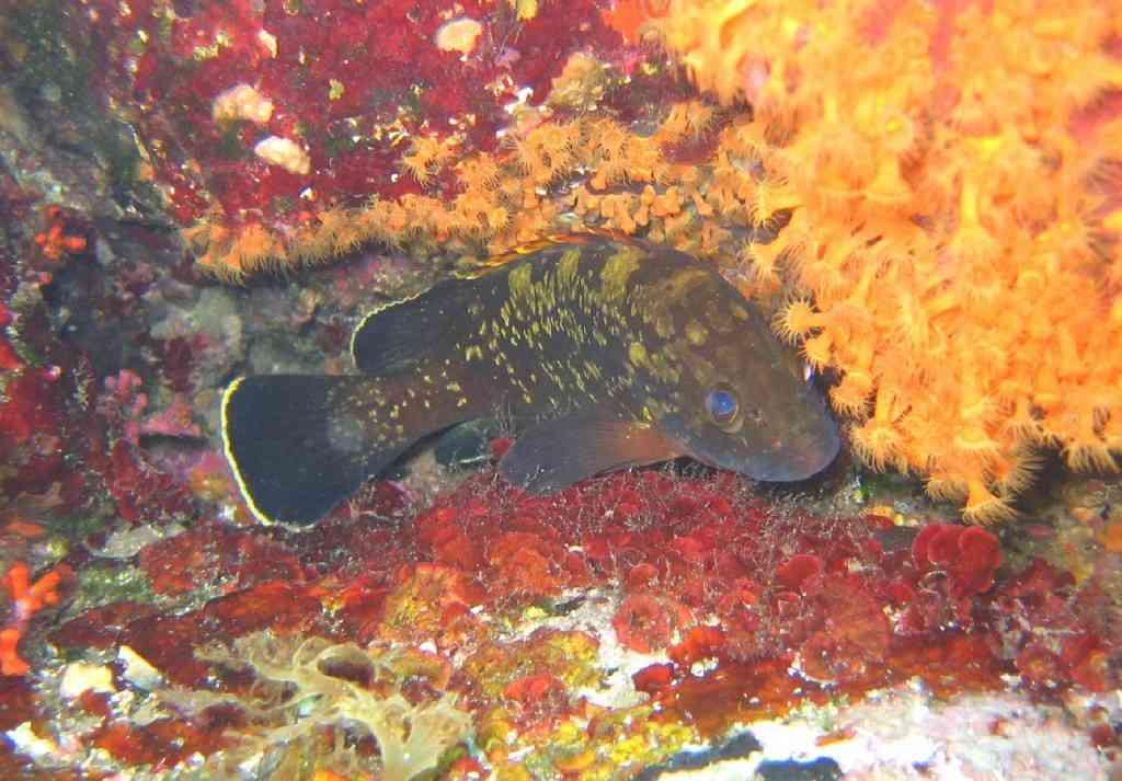 PoissOstéich-Epinephelus marginatus-GiensMédes-10m-20-06-04
