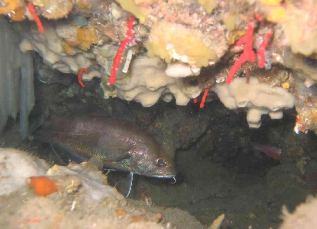 PoissOstéich-Trisopterus ex Gadus luscus-Tacaud-Tiboulen (2)