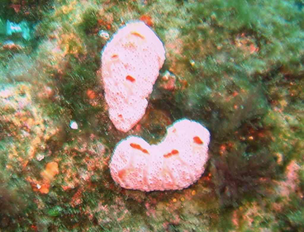 ProcordAscidie-Amaroucium-NiolonBaumeRousse-15m-10-04-04-vms