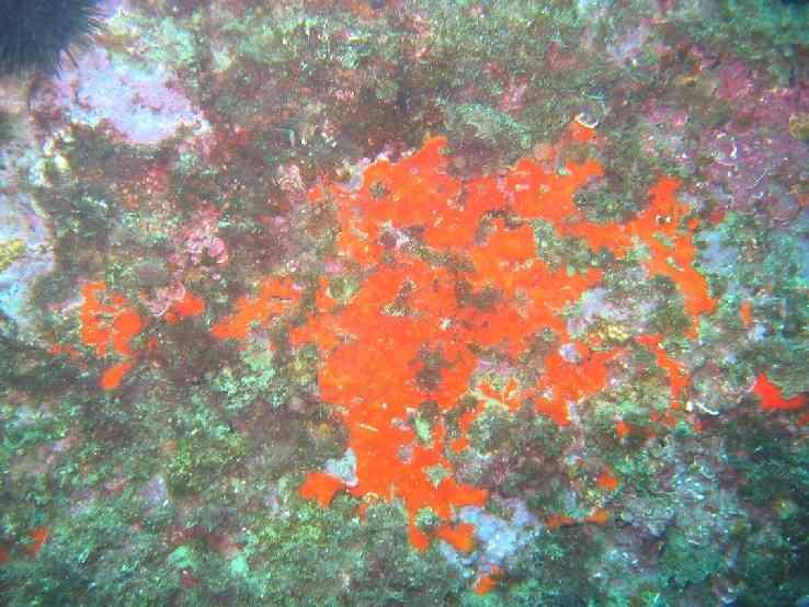 Spong-Crambe crambe-Pharillons-10m-21-03-04-vmsg