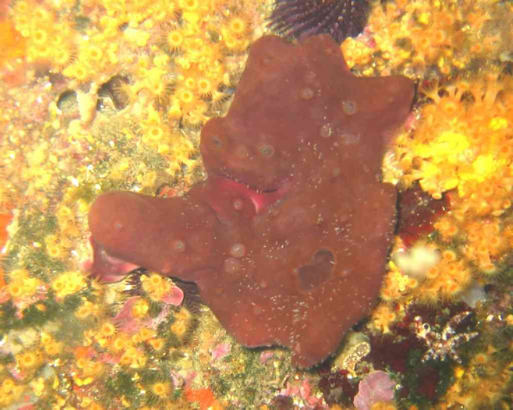 Spong-Petrosia ficiformis-EpongePierre-PlanierTombant-10 (1)