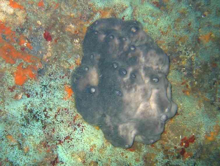 Spong-Spongia officinalis-Pharillons-10m-03-04-04-vmsg1