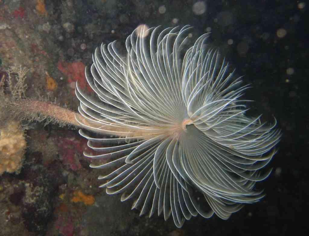 VerAnnélid-Sabella (ex Spirographis) spallanzanii-Spiro (10)